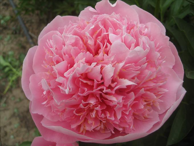 OPC_Peony_Etched_Salmon_00