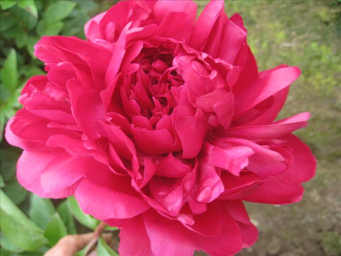 OPC_Peony_Grover_Cleveland_00