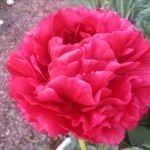 OPC_Peony_Old_Faithful_00