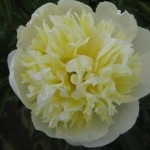OPC_Peony_White_Sands_00